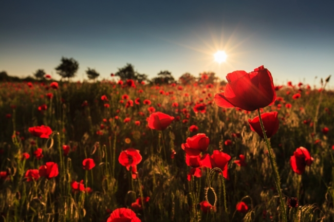 Fallen Fields - World War One Poppies