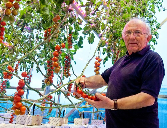 Gerry Andrew harvests Sunstream tomatoes at Stockbridge Tecnology Centre